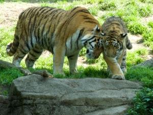 Amur Tigers Cuddling