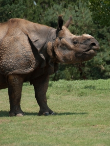 Greater One Horn (Indian) Rhino - Joya - by Dusty R Shutt