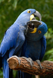 Hyacinth Macaws Playing by Dusty R Shutt