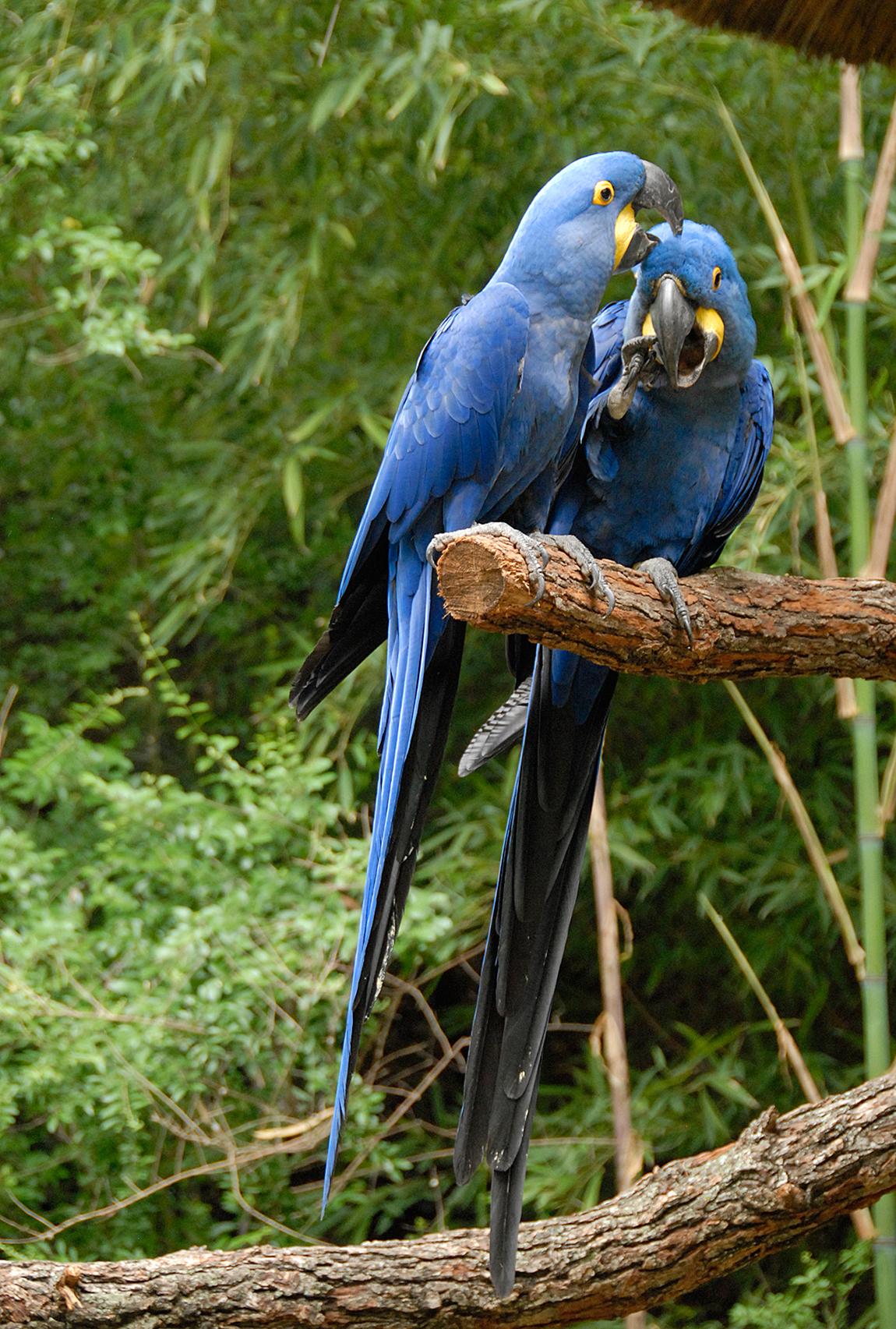 Free Flying Hyacinth Macaws | Dusty - 2134.6KB