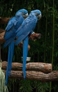 Hyacinth Macaws by Dusty R Shutt