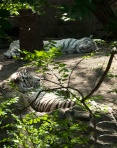 White tigers resting